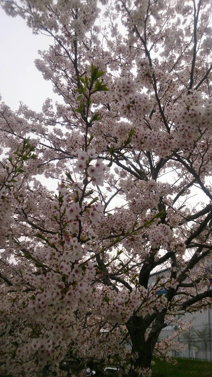 桜の常陸大宮巡業